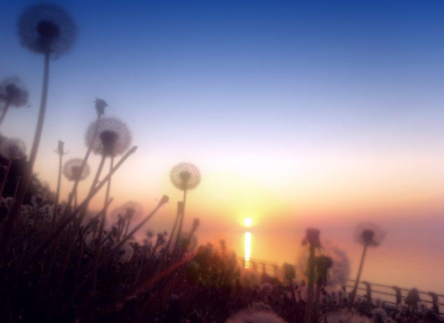 sunrise_dandelions_by_abradale-d520lqc